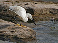 Little Egret (Egretta garzetta)- Breeding plumage- catching prey in Hyderabad, AP W2 IMG 7656.jpg