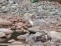 Little Egret (Egretta garzetta) (15891760421).jpg