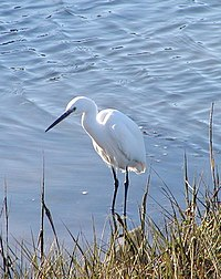Little Egret in shallows.jpg