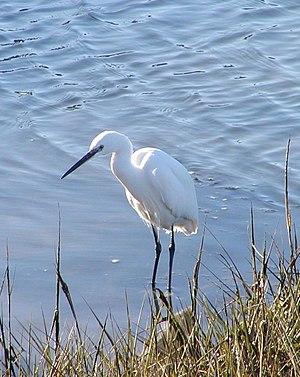 Little egret - E. g. garzetta