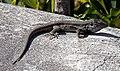 Lizard (5494664775).jpg