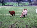 Llamas (2209359808).jpg