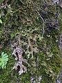 Lobaria macaronesica C. Cornejo & Scheid 407125.jpg