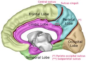 Limbic lobe - Image: Lobes Capts Medial 1