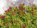 Loiseleuria procumbens.JPG