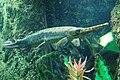 Longnose gar, Boston Aquarium.JPG