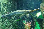 Longnose gar, Boston Aquarium.JPG