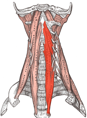 Longus colli muscle - The anterior vertebral muscles. (Longus colli labeled vertically at center left and center right.)