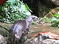 Lontra longicaudis Cali.jpg