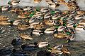 Loons enjoying warmth of flowing water (11740592953).jpg