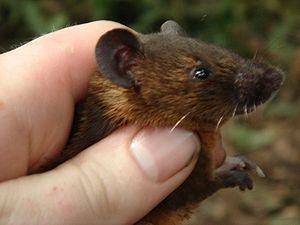 Brush-furred mouse - Lophuromys sikapusi