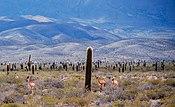 LOS Cardones Nacia Parko. Salta-Argentino. .jpg
