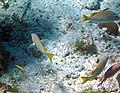 Lutjanus apodus (schoolmaster) (San Salvador Island, Bahamas) 3 (16180389221).jpg