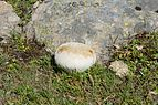 Lycoperdon utriforme on the Resciesa pasture in Val Gardena Gherdeina.jpg