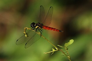 <i>Lyriothemis tricolor</i> species of insect