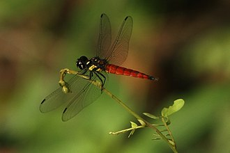 Phytotelma - Lyriothemis tricolor is a species of dragonfly breeds in phytotelmata