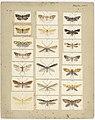 MA I437907 TePapa Plate-XLVI-The-butterflies full.jpg