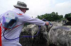 Deworming - Application of deworming treatment to cattle