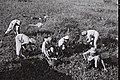 MEMBERS OF KIBBUTZ SHAMIR WORKING IN THE FIELD NEAR THEIR SETTLEMENT. חברי קיבוץ שמיר עובדים בשדה.D834-098.jpg