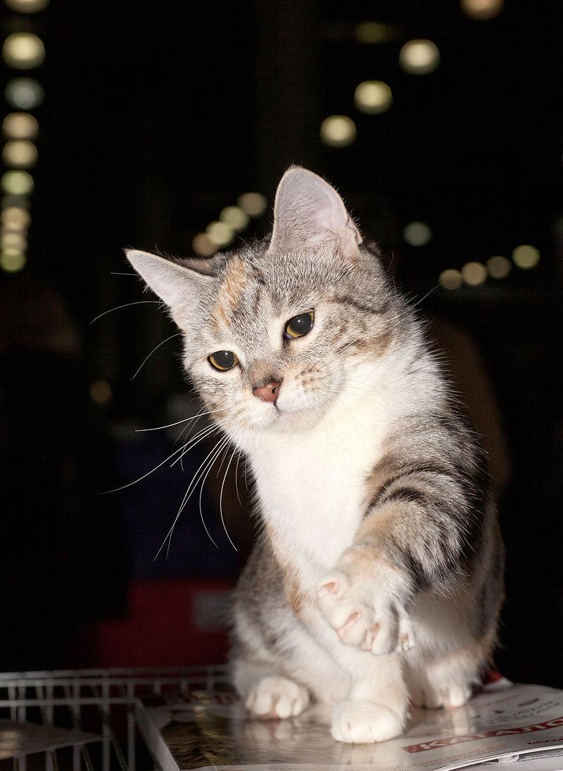 munchkin krátkosrstý kočka černě želvovinová stříbřitá s kresbou a s bílou