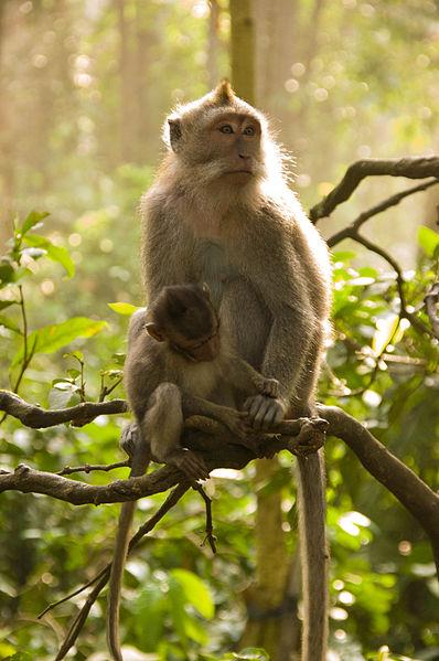 File:Macaca fascicularis in Monkey Forest Ubud.jpg