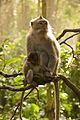 Macaca fascicularis in Monkey Forest Ubud.jpg