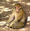 Barbary Macaque - Photo (c) Pawel Ryszawa, some rights reserved (CC BY-SA)