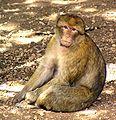 Macaca sylvanus Morocco 1.jpg