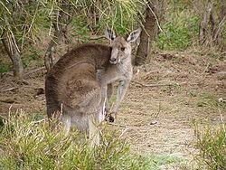 Kangourou géant (Macropus giganteus)