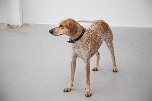 Hound - Image: Maddie (8416820450)