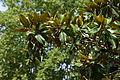 Magnolia grandiflora au Plateau des poètes001.JPG