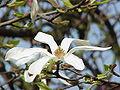 Magnolia kobus borealis1.jpg