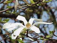 Magnolia kobus borealis1