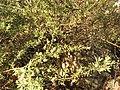 Magnoliophyta sp. (27521237267).jpg