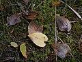 Maianthemum bifolium 2017-09-16 4013.jpg