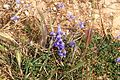 Malta - Mellieha - Triq ir-Ramla tal-Bir - Moraea sisyrinchium+Hordeum leporinum 01 ies.jpg