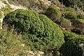 Malta - Mellieha - Triq l-Ghollieqa - Euphorbia dendroides 07 ies.jpg