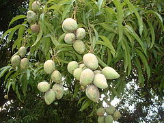 White oblong fruits on a background of much thin, but much longer leaves