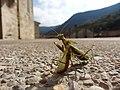 Mantis41.jpg