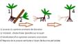 Marche du Socratea exorrhiza.png