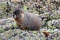 Marmota flaviventris (29270132254).jpg
