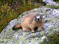 Marmotte dans le parc de la Maurienne.JPG