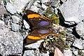 Marpesia marcella marcella (Nymphalidae- Cyrestinae- Cyrestini) (29102468934).jpg