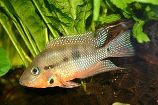 Firemouth cichlid species of fish