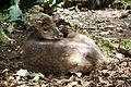 Mazama americana in Barbados Wildlife Reserve 04.jpg