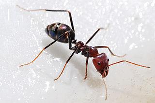 <i>Iridomyrmex</i> genus of insects