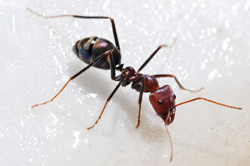 Ficheiro:Meat eater ant feeding on honey02.jpg