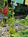 Meconopsis betonicifolia 4.jpg