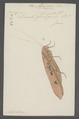 Mecopoda - Print - Iconographia Zoologica - Special Collections University of Amsterdam - UBAINV0274 066 01 0019.tif