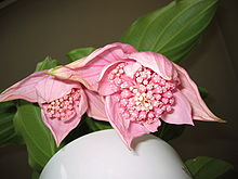 medinilla magnifica wikipedia. Black Bedroom Furniture Sets. Home Design Ideas